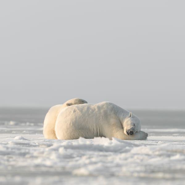 Ice Bear Snuggles  ( Color )  Photography Art   Visual Arts & Media Group Corporation
