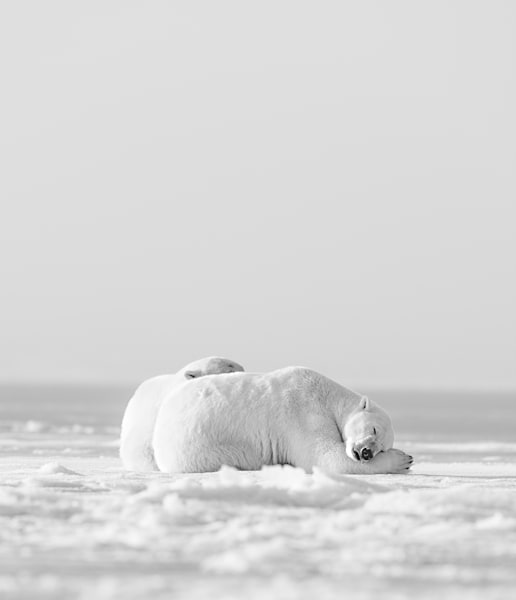 Ice Bear Snuggles ( Black & White ) Photography Art | Visual Arts & Media Group Corporation