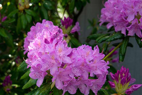 Rhododendrons Photography Art | RAndrews Photos