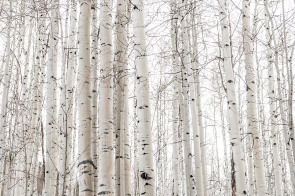 Aspens In Winter  Photography Art   Visual Arts & Media Group Corporation