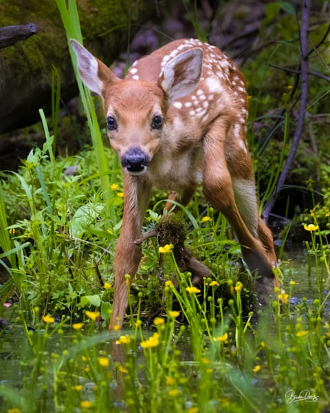 A New Fawn
