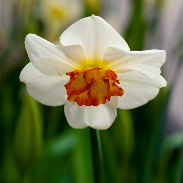 Grace Of A Daffodil Photography Art | Ben Asen Photography