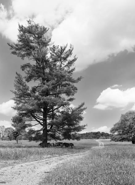 B&W Horses Under A Shade Tree Print