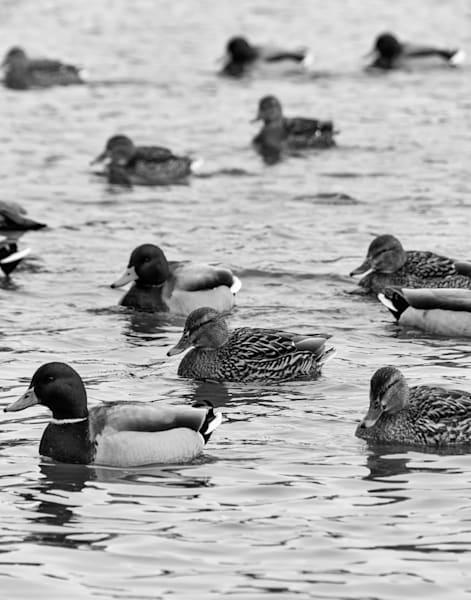 Duck, Duck