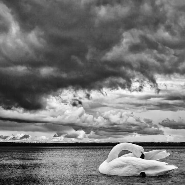 Swan Lake III