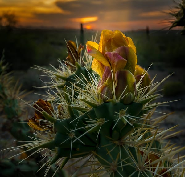 The Desert Rose   Picacho Peak Arizona Photography Art | Kendall Photography & Fine Art