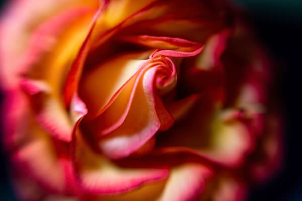 Heart Of The Rose Photography Art | Kendall Photography & Fine Art