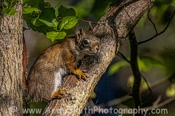 Red Squirrel Resting Art | Andy Smith Photography