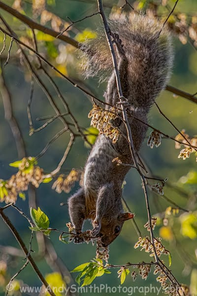 Gray Squirrel Hanging Art | Andy Smith Photography