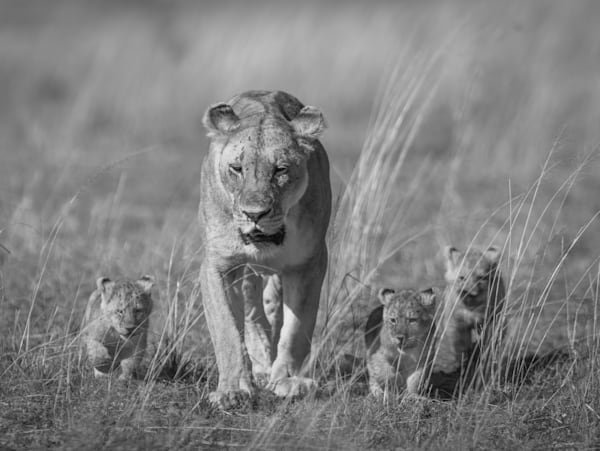 Kings In Training ( Black & White )  Photography Art   Visual Arts & Media Group Corporation