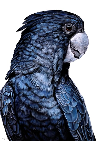 Redgie - Red-tailed Black Cockatoo