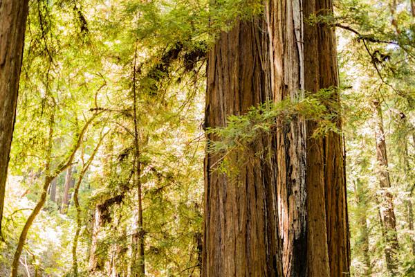 Sunlight through the redwoods