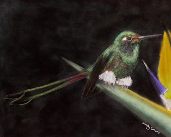 Booted Racket Tail hummingbird by Nancy Conant