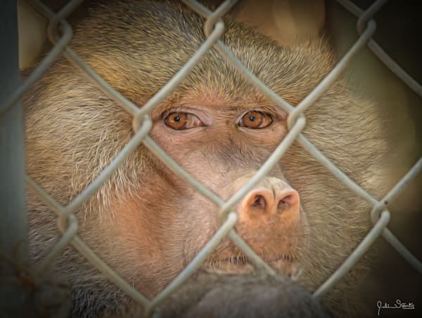 The Sacred Baboon's Eyes Don't Lie!   Painted Photography Art   Julian Starks Photography LLC.