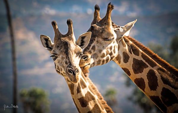 Giraffe's In Love!   Painted Photography Art   Julian Starks Photography LLC.