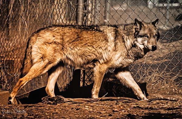 California Grey Wolf   Painted Photography Art   Julian Starks Photography LLC.