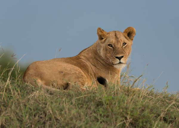 Lounging Lioness Photography Art   Visual Arts & Media Group Corporation