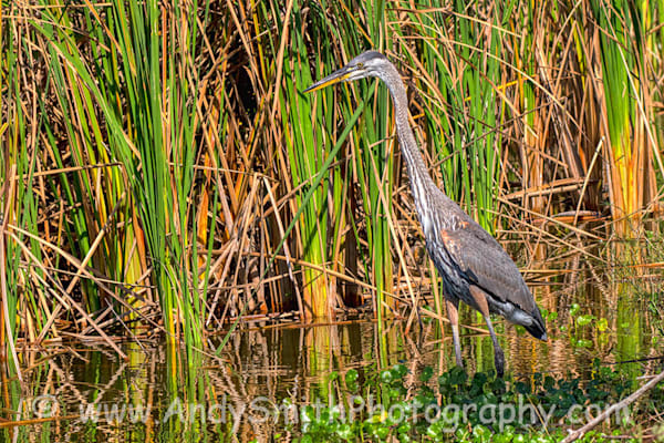 Great Blue Heron by Grass