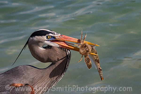 Great Blue Heron With Sea Robin Art   Andy Smith Photography