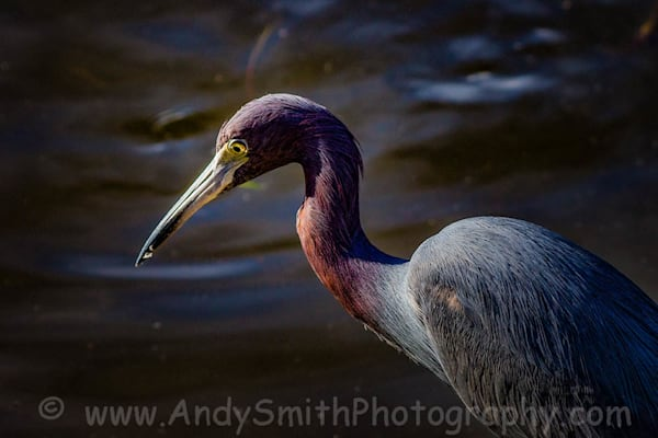 Little Blue Heron Portrait Art | Andy Smith Photography