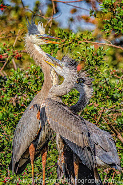 Great Blue Heron With Juveniles Art   Andy Smith Photography