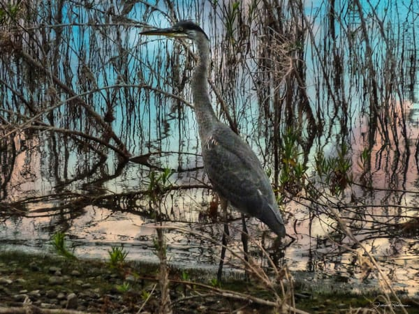 hidden, hunter, birds, greatblueheron, camoflauge, wingspan, marvel, ocean, marshlands, jackierobbinsstudio, photographicprints