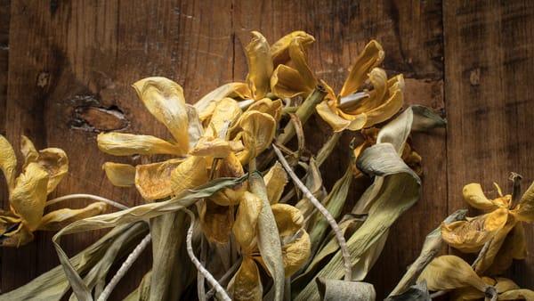 Dry Tulips 4 Photography Art   TERESA BERG PHOTOGRAPHY