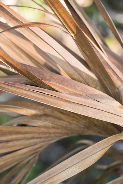 Dried palms in South Carolina by Teresa Berg