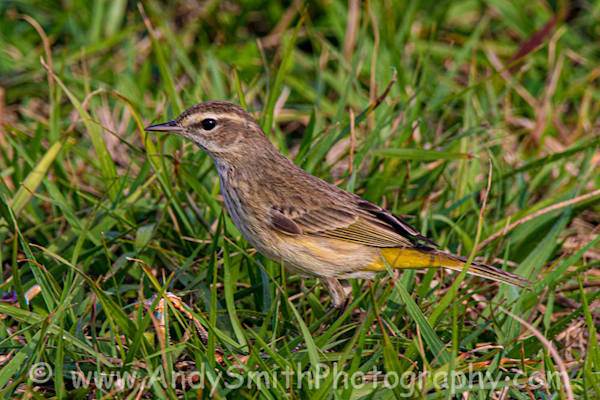 Palm Warbler Art   Andy Smith Photography