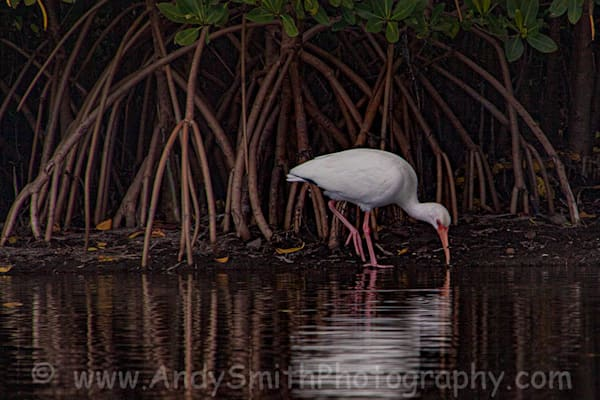 White Ibis Among Marsh Roots Art   Andy Smith Photography