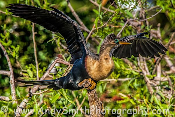 Anhinga Spreading Its Wings Art   Andy Smith Photography