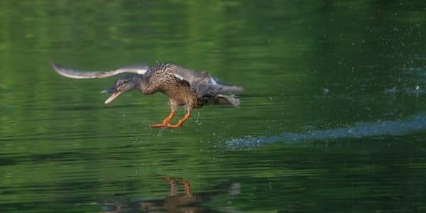 A Female Mallard Takes Flight Photo