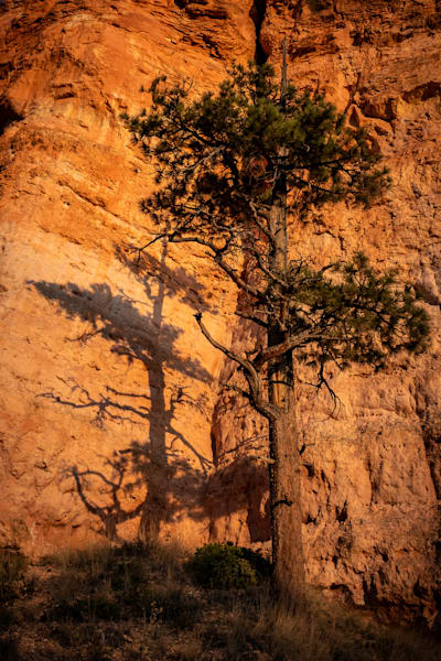 Pine tree and her shadow