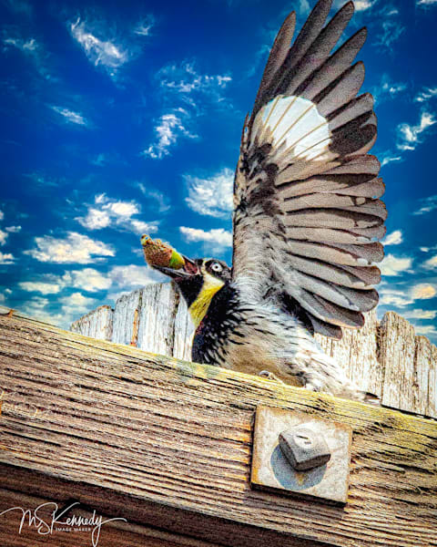 Acorn Woodpecker Art | Cutlass Bay Productions, LLC