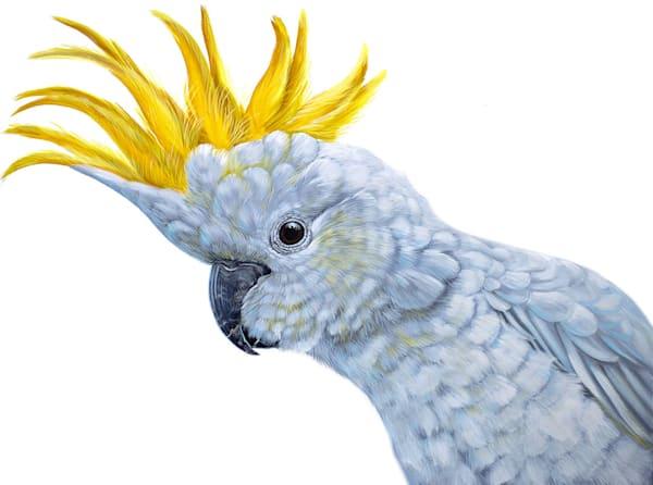 Stella - Sulphur Crested Cockatoo