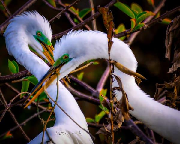 Two Snowy Egrets Nest Building  Art | Cutlass Bay Productions, LLC