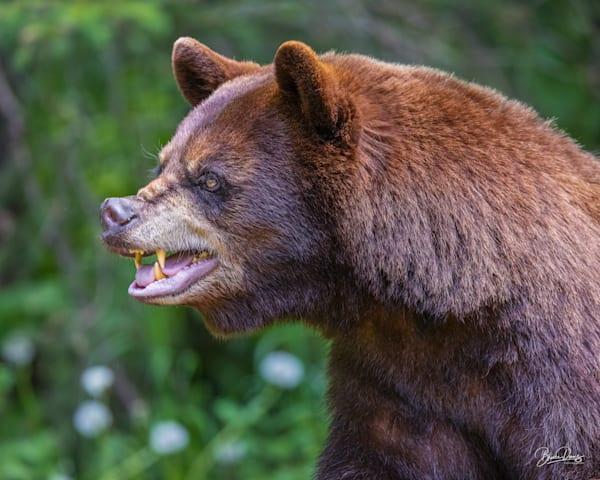 Black Bear Not Happy