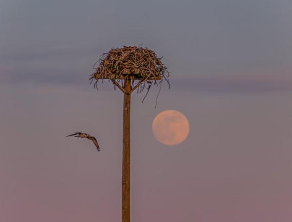 Oak Bluffs Osprey Flight Moon Art   Michael Blanchard Inspirational Photography - Crossroads Gallery