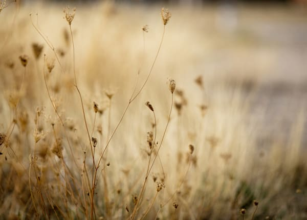 Weeds In Gold Photography Art | TERESA BERG PHOTOGRAPHY