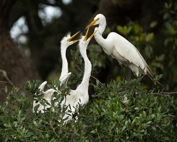 Great Egret And Chicks Photography Art | Cuda Nature Art
