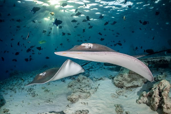Stingrays under Sunrays is a fine art photograph available for sale.