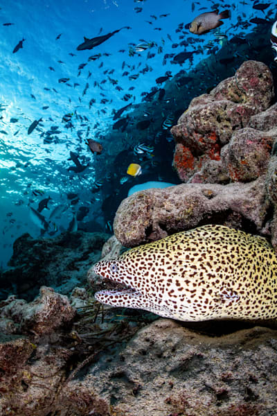 Honeycomb Eel is a fine art photograph available for sale.