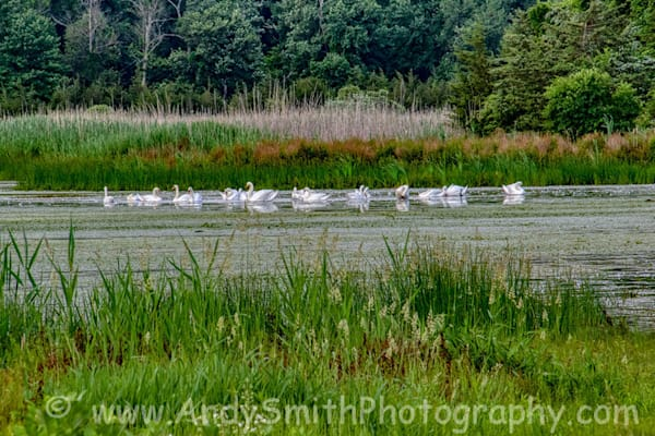 Mute Swans at Hyper Humus