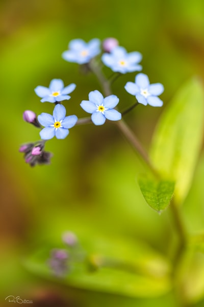 Closeup of Alpine Forget-Me-Not.