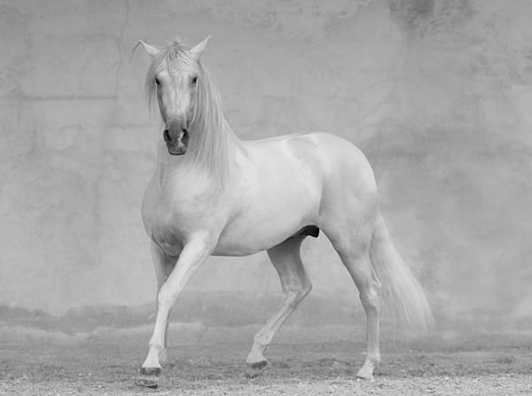 #12 Classical Spanish Stallion Art | Living Images by Carol Walker, LLC