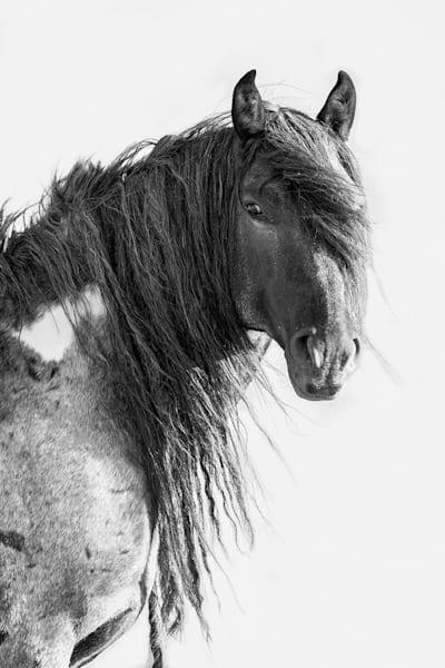 #35 Wild Blue Roan Stallion Ii Art   Living Images by Carol Walker, LLC
