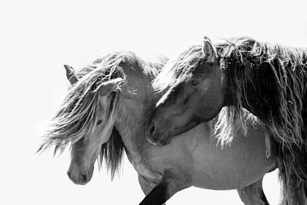 #8 Two Sable Island Stallions Vii Art | Living Images by Carol Walker, LLC