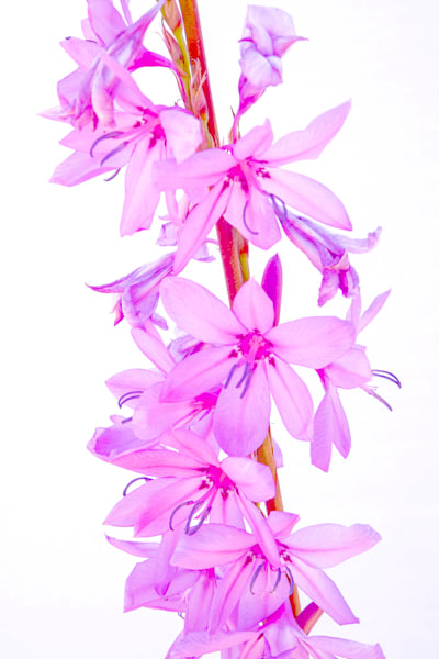 Pink Watsonia Photography Art   FocusPro Services, Inc.