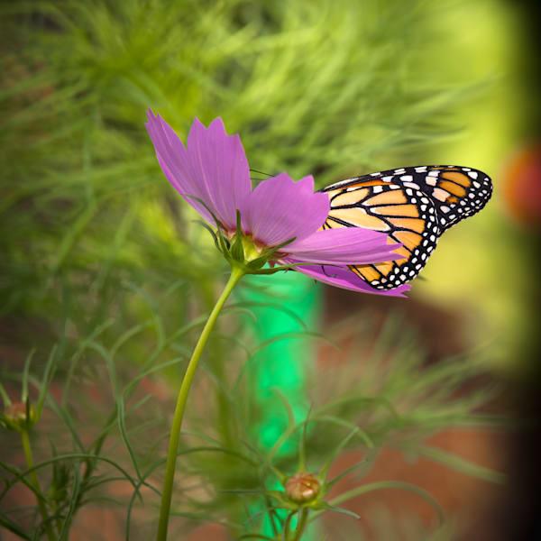 Wannabe Naturalist Quarterly Magazine Backyard Butterfly   Eugene L Brill