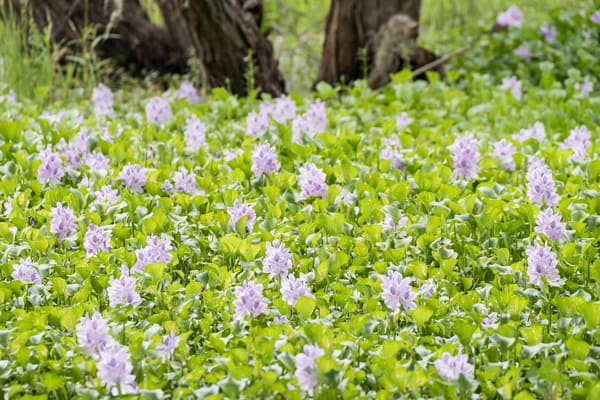 Hyacinth Flower Patch, Damon, Texas